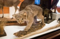 "Lynx, ""Rufus,"" undated, Springfield Science Museum SSM-99/53"