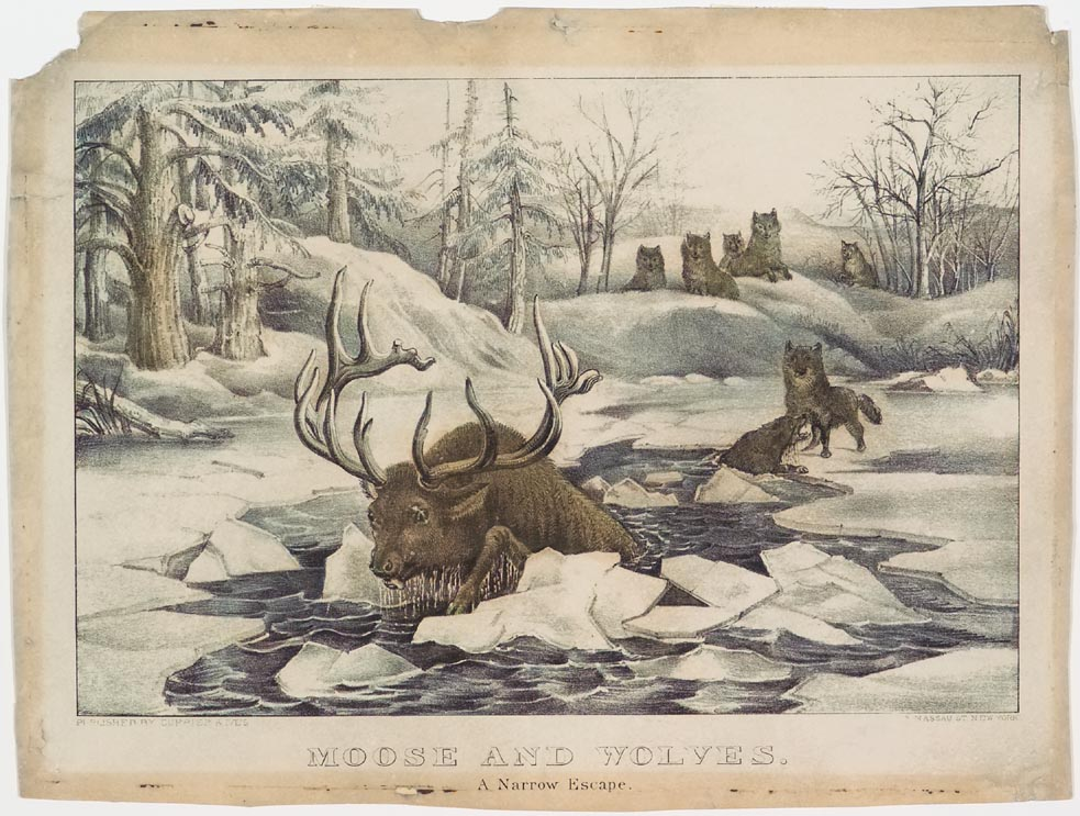 Moose in ice covered pond in woods headed away from pack of wolves on shoreline