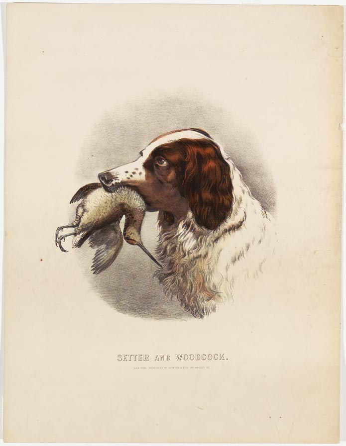 Brown and white setter