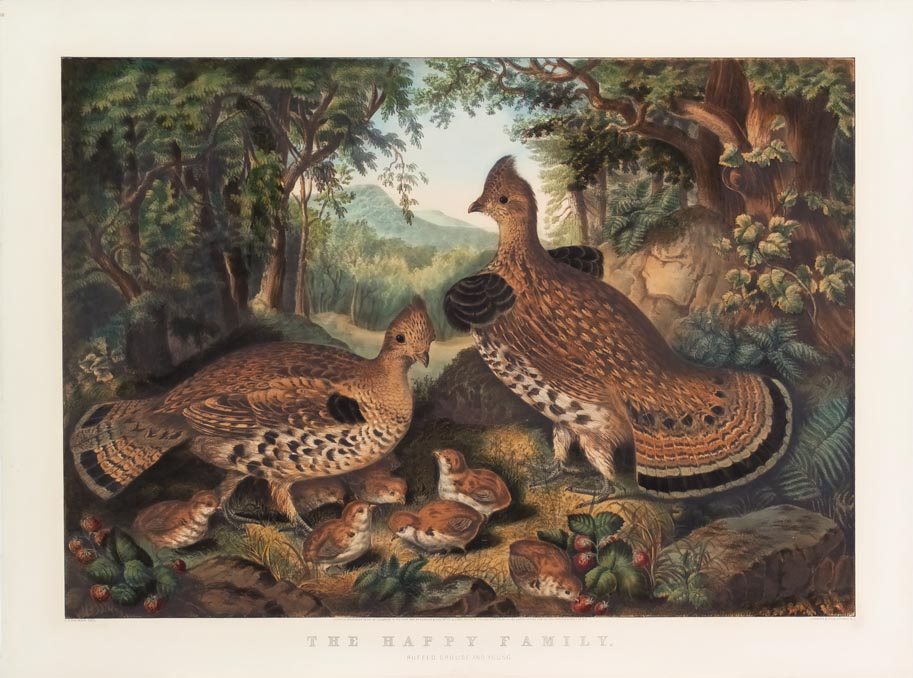 Woodland scene with family of grouse (2 adults with 7 young chicks)