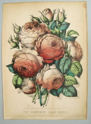 The Hundred Leaf Rose, Currier & Ives