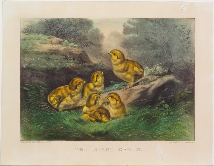 Woodland scene - five small yellow chicks nestled in grass near a rock