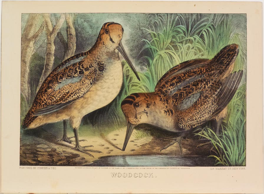 Two woodcocks at center