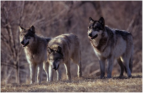 Three wolves growling