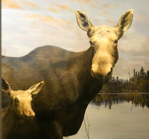 female moose and offspring diorama