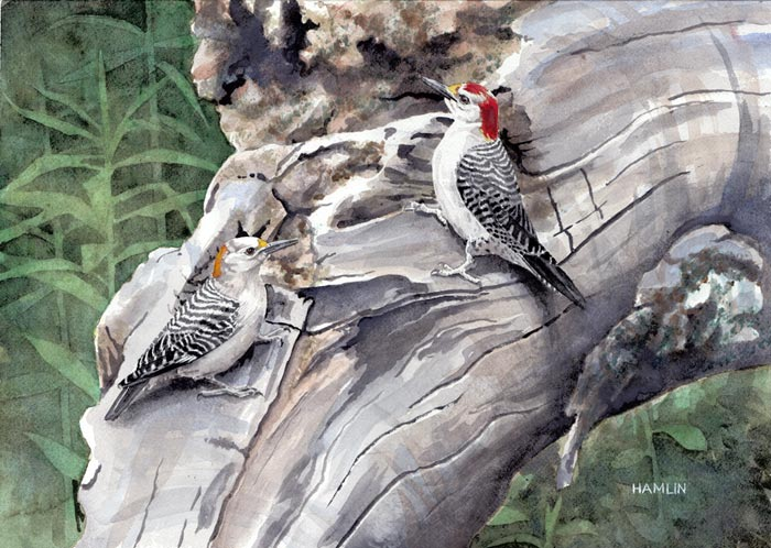 watercolor painting of woodpeckers by Steve Hamlin