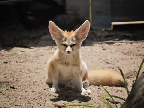 Fennec Fox at the forst park zoo