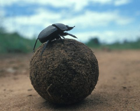 Dung beetle rolling fresh dung.