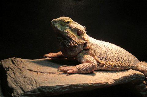 zoo-bearded-dragon
