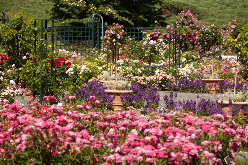 Georgia o keefe roses at the new york botanical garden springfield museums for The gardens of the american rose center