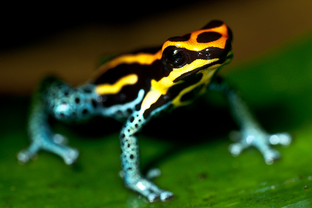 Poisonous Tree Frog 1