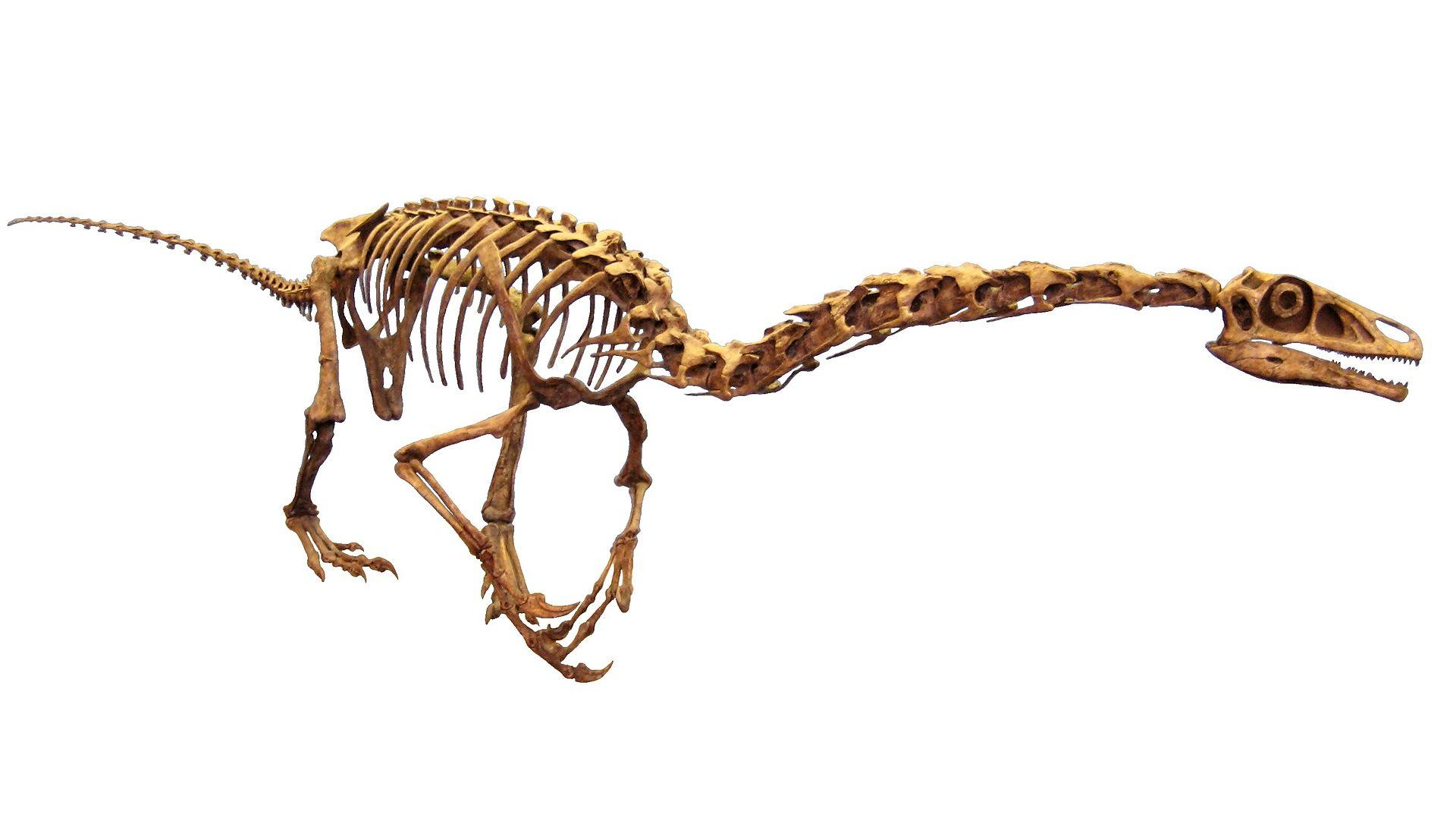 Falcarius skeleton reconstruction