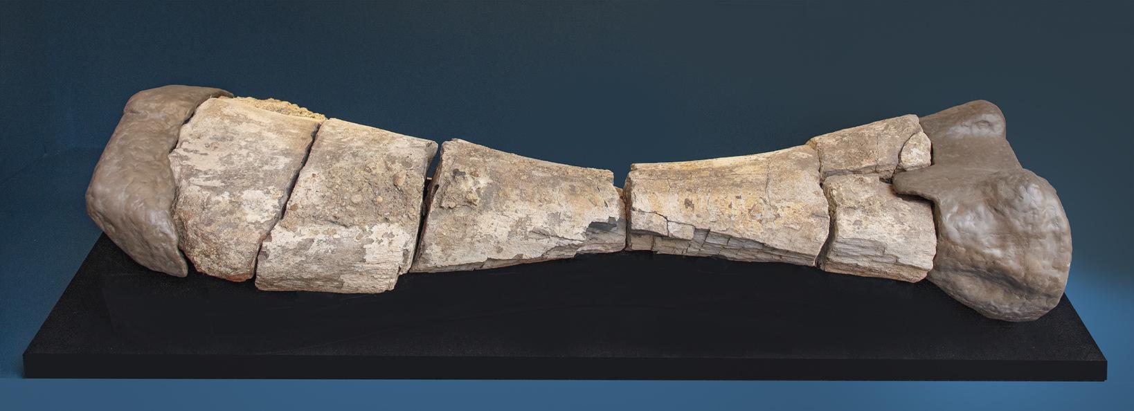 Alamosaurus Bone