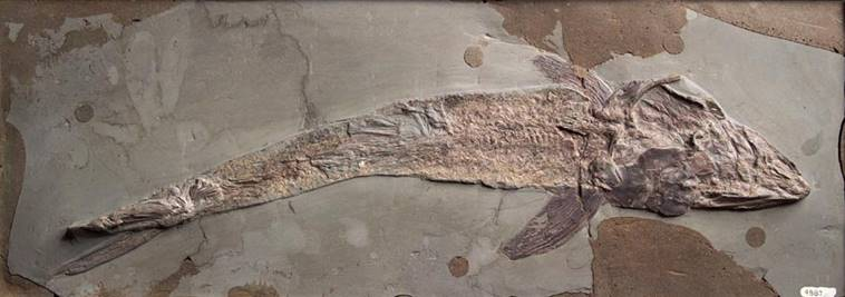 Pachycormus bollensis