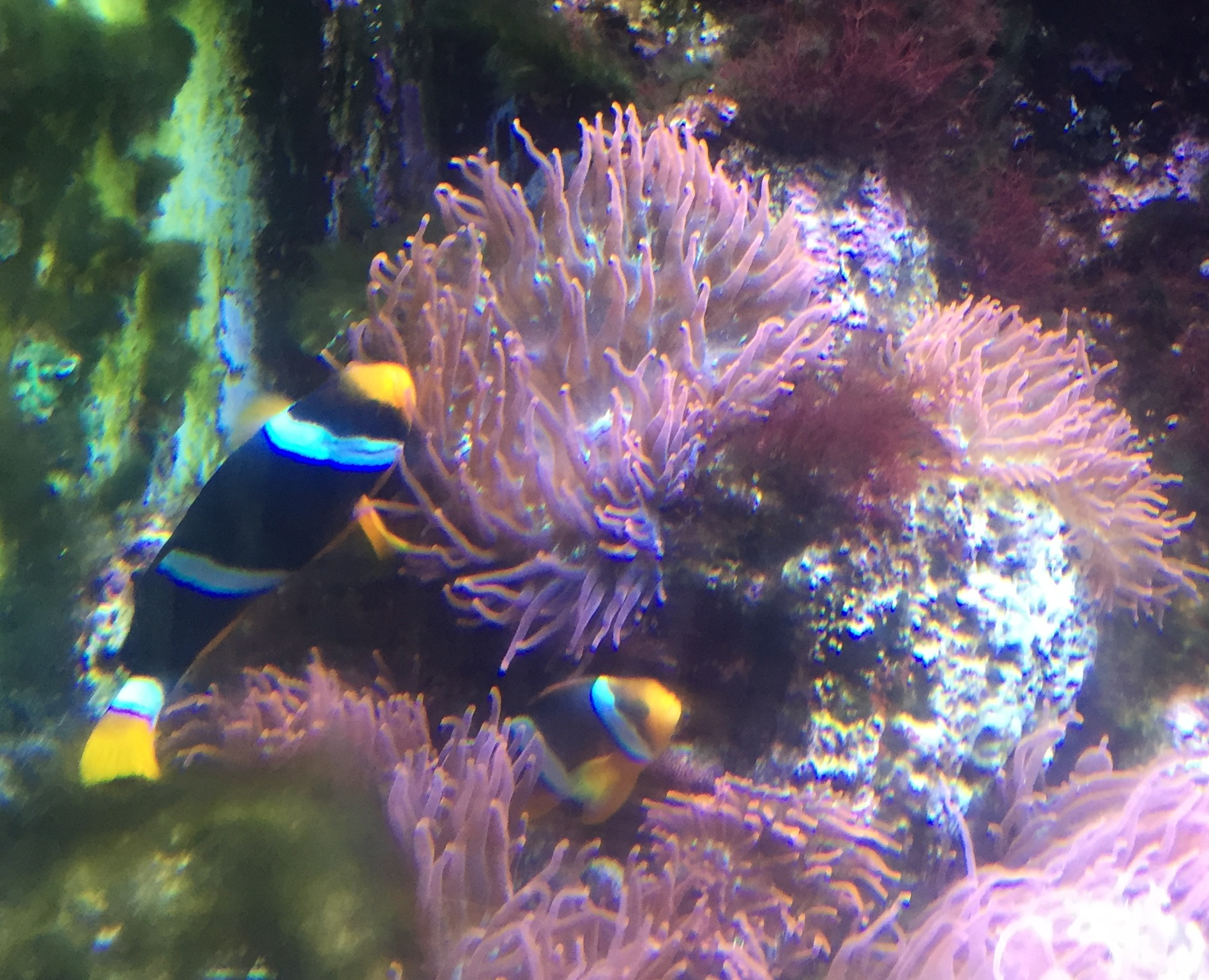Two Colorful Clownfish In An Aquarium With Pink Plants