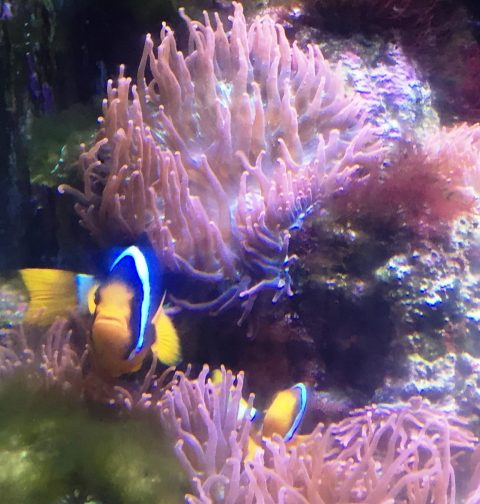 Clownfish pair with eggs