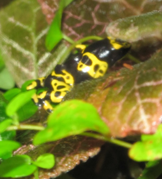 Black and yellow frog among green leaves