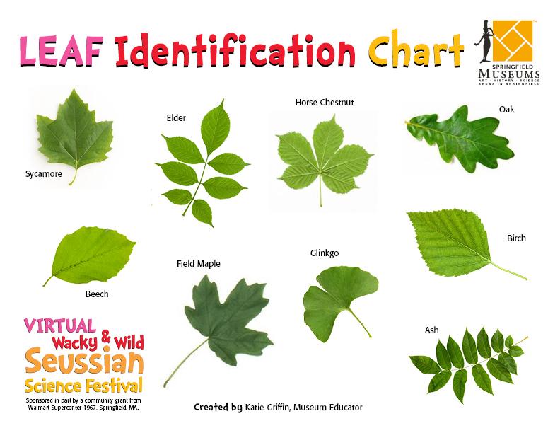 Leaf Idenitification Chart