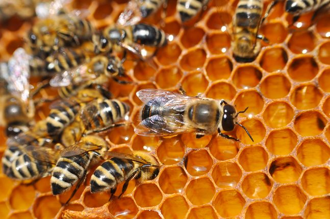 Drone bees on honeycomb
