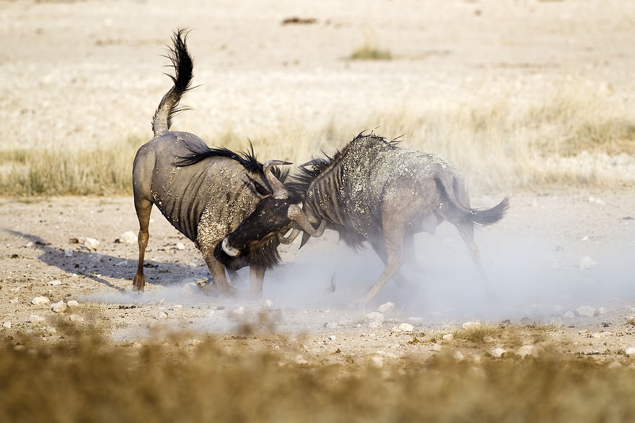 Two Blue wildebeest males in duel.