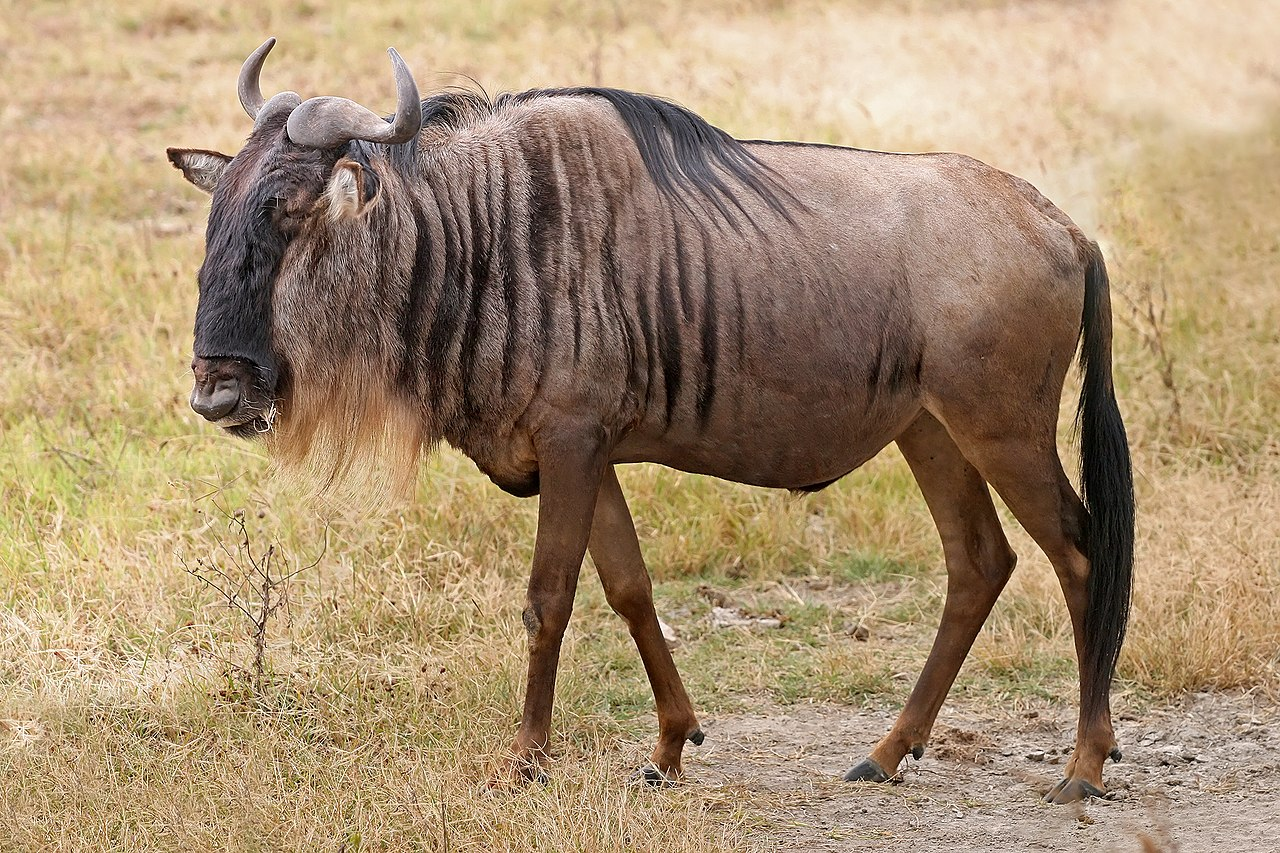 A Blue Wildebeest (Connochaetes Taurinus) In The Ngorongoro Crater, Tanzania.
