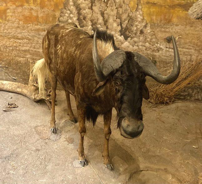 Taxidermy Wildebeest