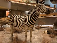 Taxidermied common zebra
